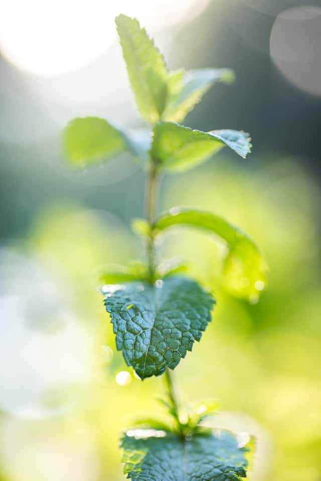 mint in the morning light