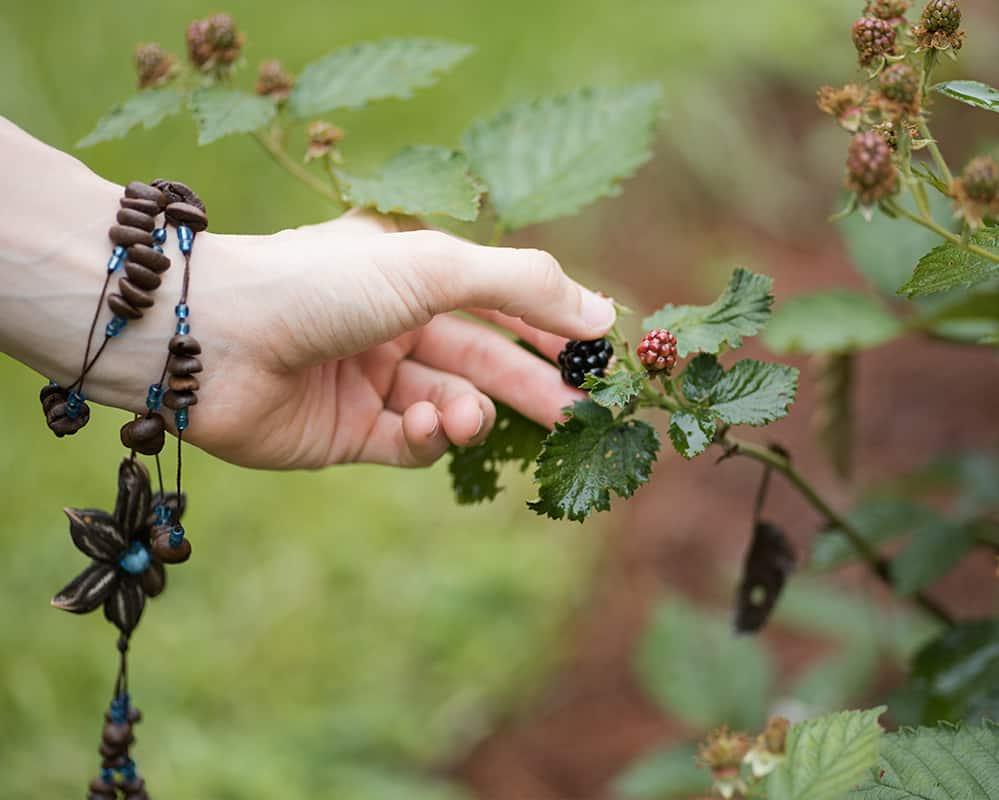 picking a ripe blackberry